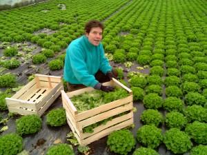 Lorsque les salades sont à maturité, elles sont récoltées manuellement