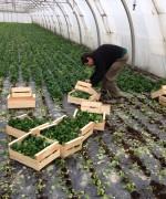 Thierry confectionne des caissettes de 1kg de mâche en alignant les bouquets coupés.